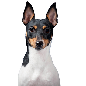 Toy Fox Terrier.png