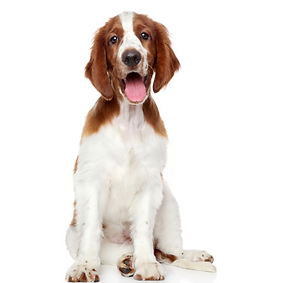 Welsh Springer Spaniel.png