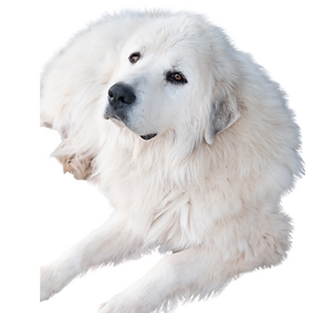 Great Pyrenees.png