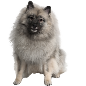 Keeshond.png