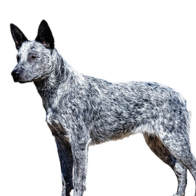Stumpy Tail Cattle Dog.png