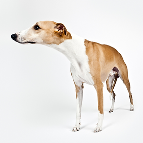 Whippet.png