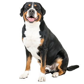 Greater Swiss Mountain Dog.png