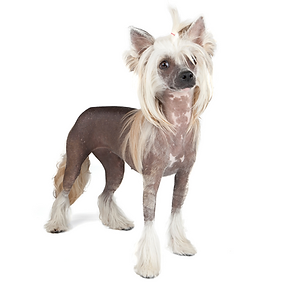 Chinese Crested.png