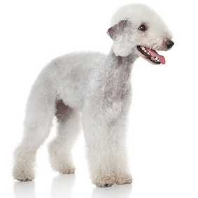 Bedlington Terrier.png