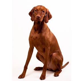 Vizsla (Smooth).png