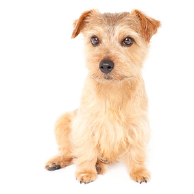 Norfolk Terrier.png