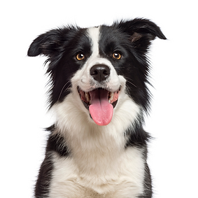 Border Collie.png