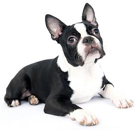 Boston Terrier.png