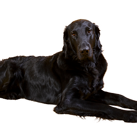 Flat-Coated Retriever.png