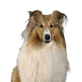 Collie (Rough).png