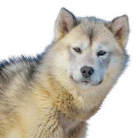 Greenland Dog.png