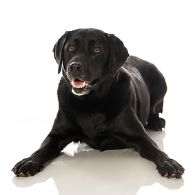 Labrador Retriever.png