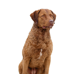 Chesapeake Bay Retriever.png