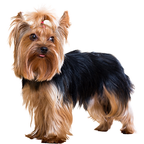 Yorkshire Terrier or Yorkie.png