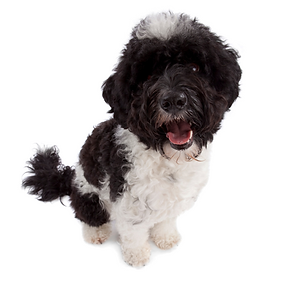 Portuguese Water Dog.png