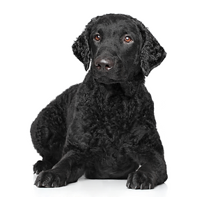 Curly-Coated Retriever.png