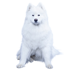 American Eskimo Dog (Miniature).png