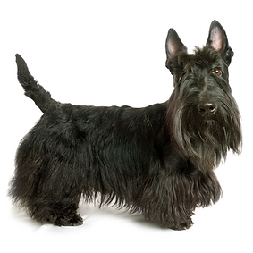 Scottish Terrier (Scottie).png