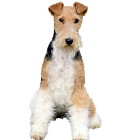 Fox Terrier (Wire).png