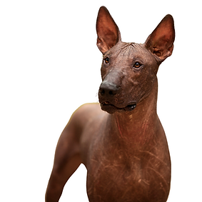 Xoloitzcuintli (Toy) or Xolo.png