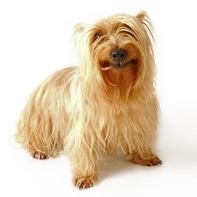 Silky Terrier.png