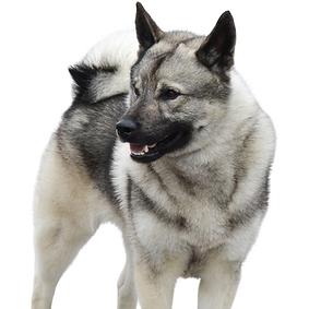 Norwegian Elkhound.png