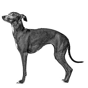Italian Greyhound.png