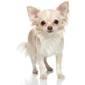 Chihuahua (Long Coat).png