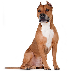 American Staffordshire Terrier (Am Staff