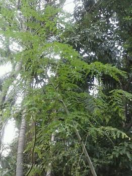 """Moringa, """"el árbol milagroso""""                         con múltiples beneficios para la salud."""