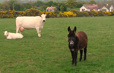 Cow and Donkey in a field