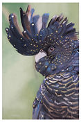Black Cockatoo (close up) LE Print
