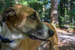 Spanish Greyhound With Collar