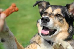 German Shepherd Mix Dog Begging For Treat