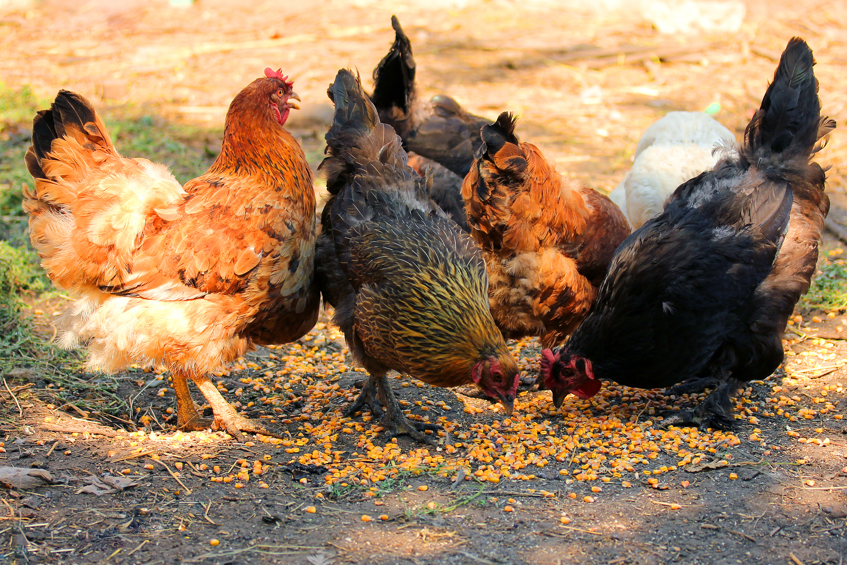 Feeding Poultry Outdoors