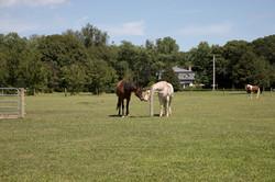Horses The Little Red Barn