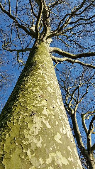 Majestic tree in winter.jpg