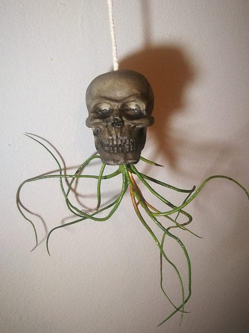 (P7) T. bulbosa with Hanging Skull  (Read description for full description)