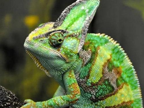 Chamaeleo calyptratus Pair  (Veiled Chameleon)