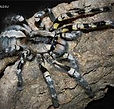 Indian Ornamental (Poecilotheria Regalis