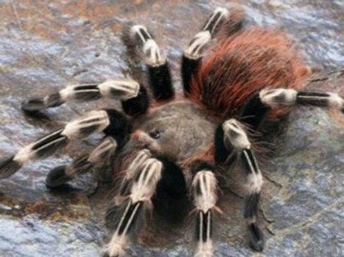 1 x T. sabulosum 5cm & 1 x N. chromatus 6cm