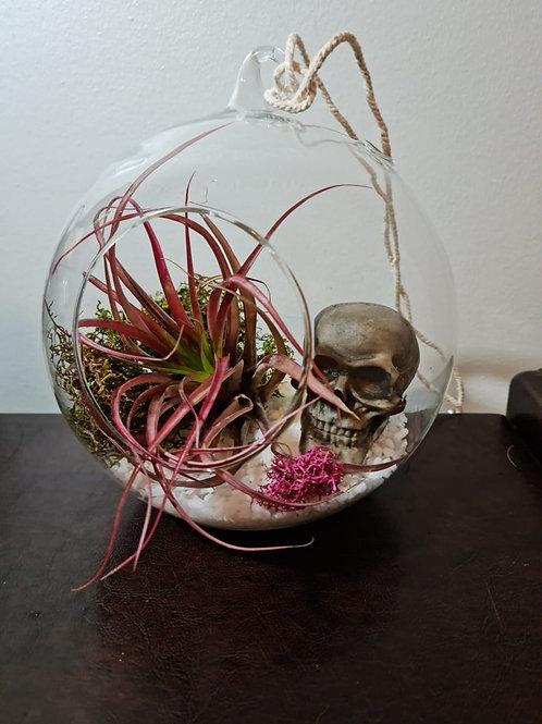 (P6) T. multiflora in Glass dome. (Read description for full description)