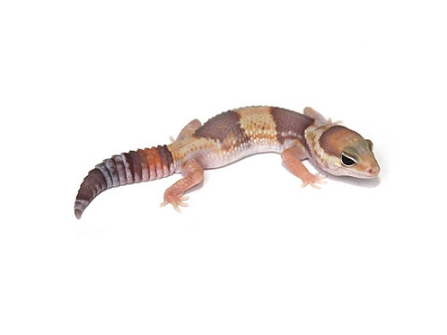 Female Albino African Fat Tail Gecko