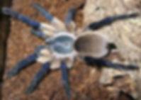 Socotra Island Blue Baboon (Monocentropus balfouri)