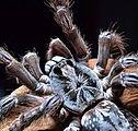 Heteroscodra Maculata female.jpg