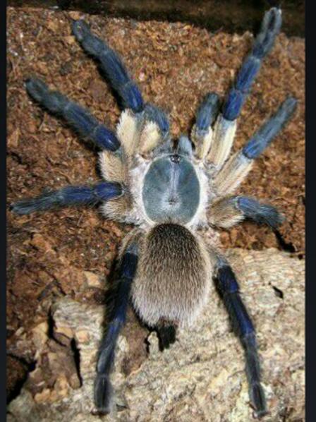 Monocentropus balfouri 1cm (Socotra Island Blue Baboon)