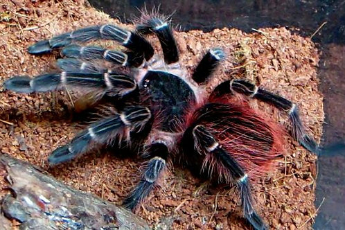 Acanthoscurria chacoana (Bolivian Red Rump) 13cm Female