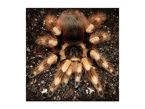 Nhandu coloratovillosus 4.5cm (Brazilian Black and White)