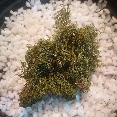 Olive Green Reindeer Moss 5g Preserved